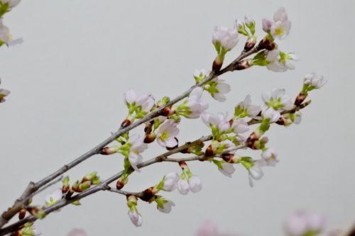 ひな祭り 0歳&3歳 転勤族 壁掛け 手作り 桜