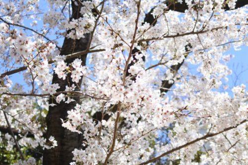 挿絵 桜 写真